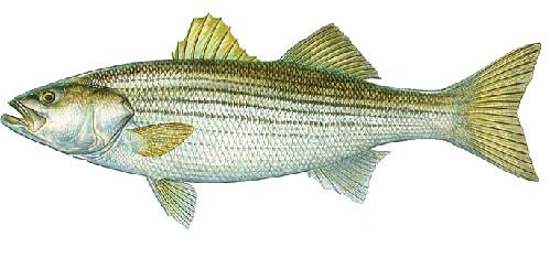 Saltwater Fish Identification Connecticut Fishing Regulations 2020 Eregulations,Stargazing Lily Flowers