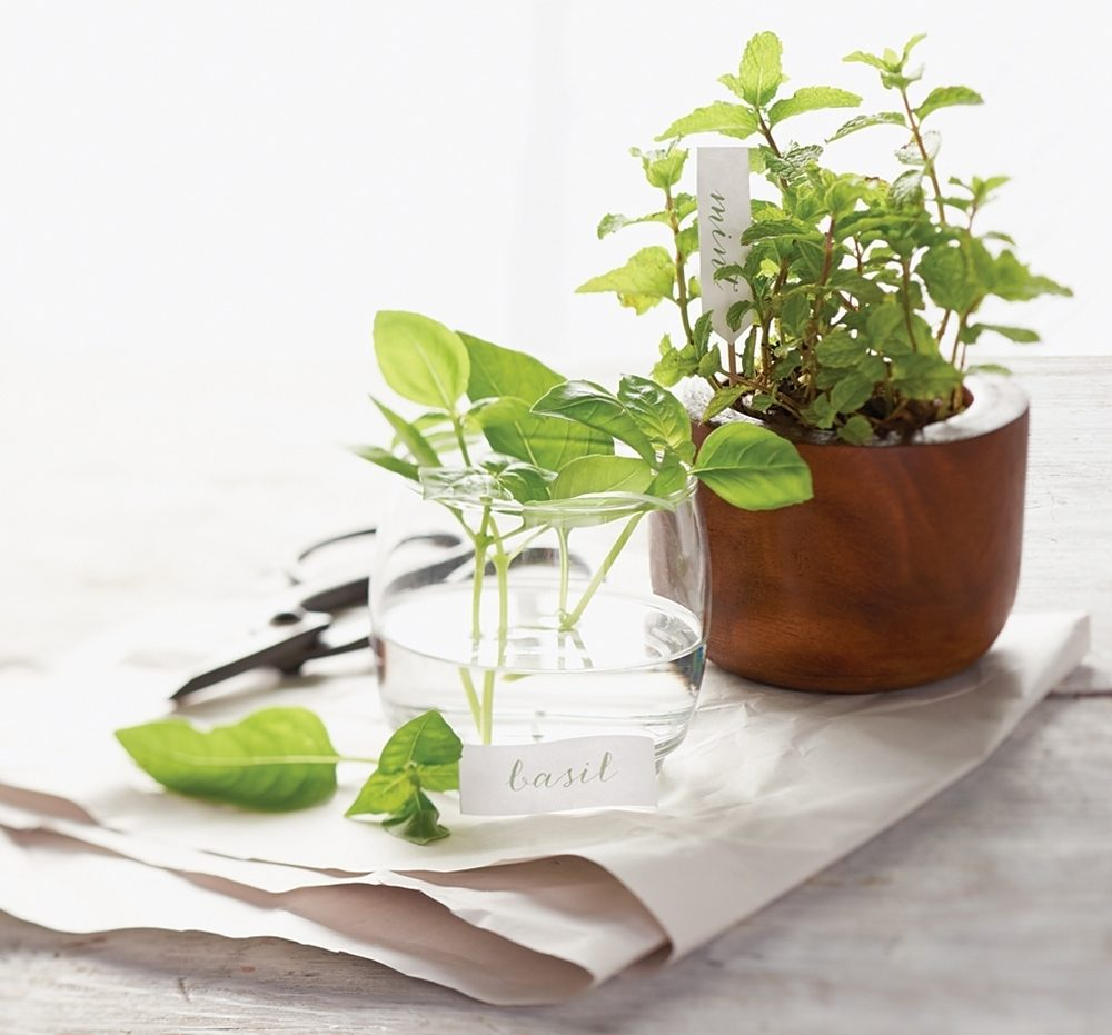 basil and mint herbs