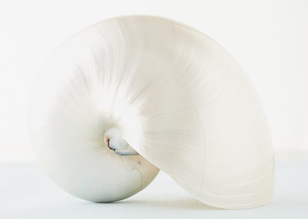 A pure white seashell