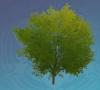 Green Pearlroot Tree