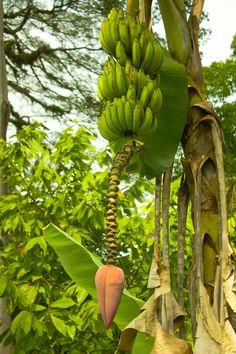 MAIA Banana or Plantai...