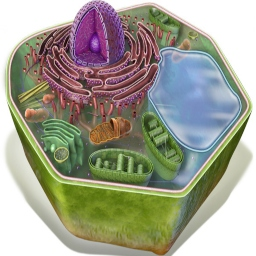 Plant Cell - Cross-Section