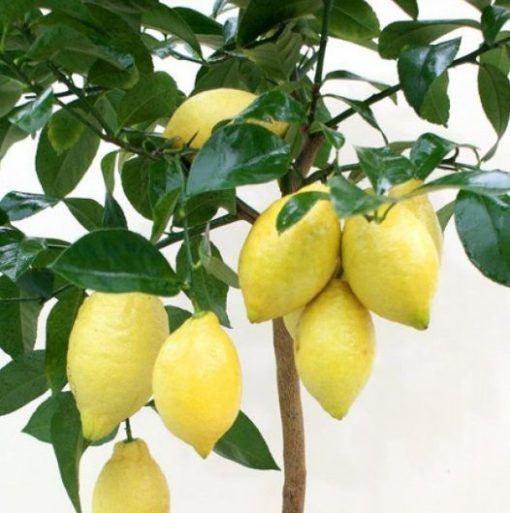 Óleo Essencial de Limão Siciliano