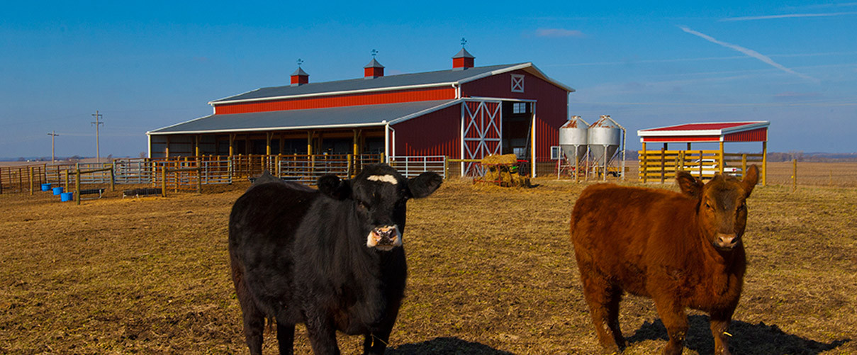 cattle multiple in barn new modern concepts gallery barns progress