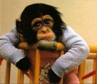Entrena a un chimpancé femenino para un nuevo hoga