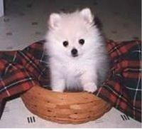Pomerania Cachorros para su hogar