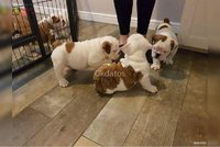 cachorros bulldog ingles y frances