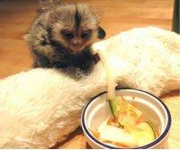 Regalo Monos tití libres para adopción