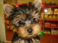 Yorkies Terrier cachorros en adopción
