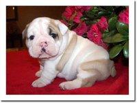 bulldog ingles cachorros gratis