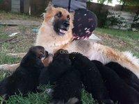 Vendo lindos cachorros pastor aleman