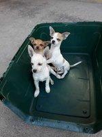 Vendo perritos Chihuahua