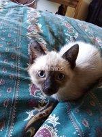Vendo Gatitos siameses