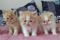 Gatitos Persas y Exótico