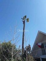 Tala de palmeras