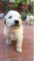 Cachorros Golden RETRIEVER