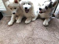 Cachorros Husky siberiano pura raza Due end abril