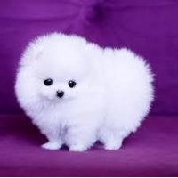 Dos impresionantes cachorros de T-Cup Pomeranian