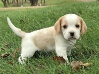 Beagle Puppies Disponible