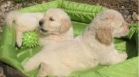 REGALO PRECIOSOS CACHORROS GOLDEN RETRIEVER