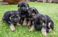 Cachorros Pastores inscritos KCC