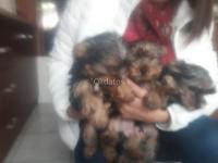 cachorros yorshire