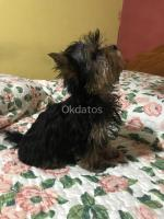 Pequeño Yorkshire terrier micro toy 3 meses
