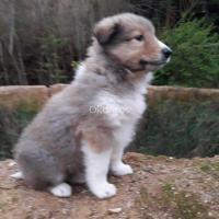 Vendo cachorros Collie (Lassie)