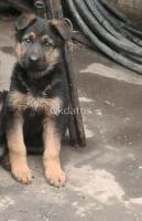 Cachorrito pastor aleman