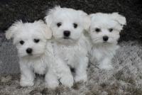 Encantadores cachorros malteses para la adopción
