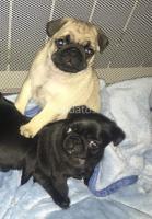Impresionante Kc Reg Pug Cachorros Niños / Niñas