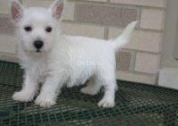 Hermosos cachorros de West Highland Terrier