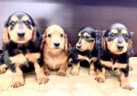 Mini Cachorros Dachshund