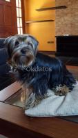 cachorro yorkshire