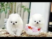 Hermosos cachorros de Pomerania disponibles