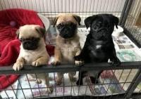 Adorable cachorros yorkies gratis para adopción