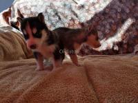 Actieve husky pup
