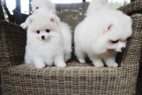 Cachorros Pomerania Disponibles