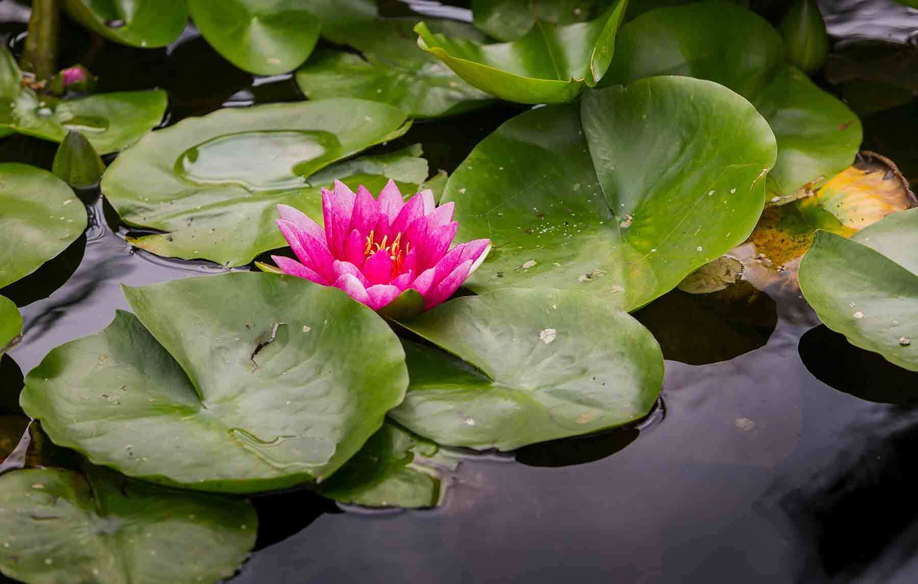 A bright pink lily flower blooming among green lilypads on a pool od dark water