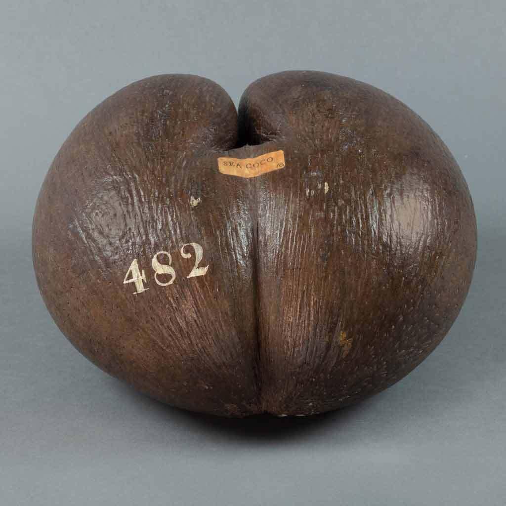 Coco de mer (Lodoicea maldivica) nut