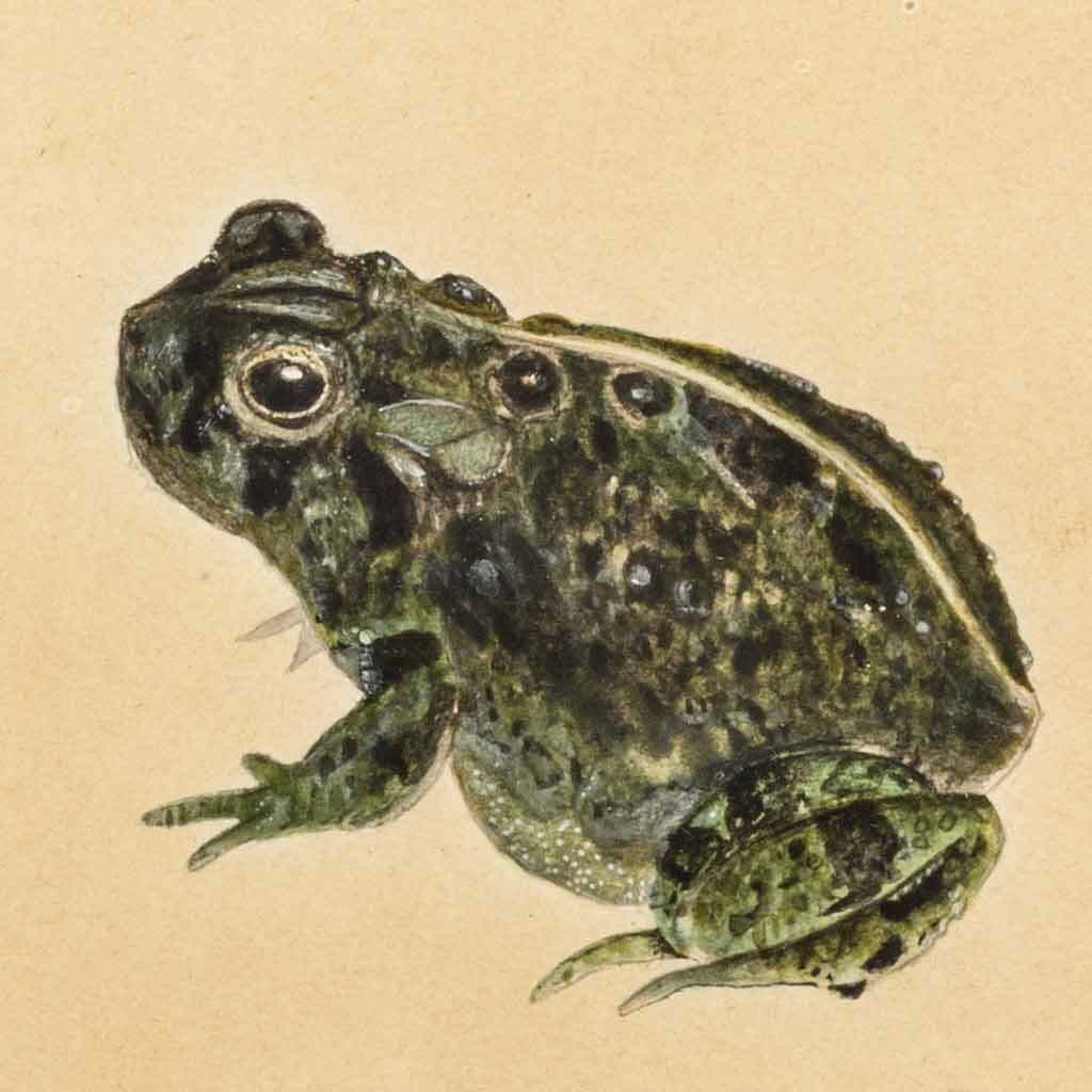Zoological illustration of a newly discovered species of toad