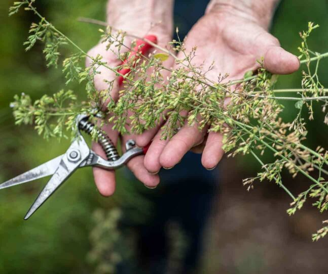 Hands holding garden shears and cut flower branches