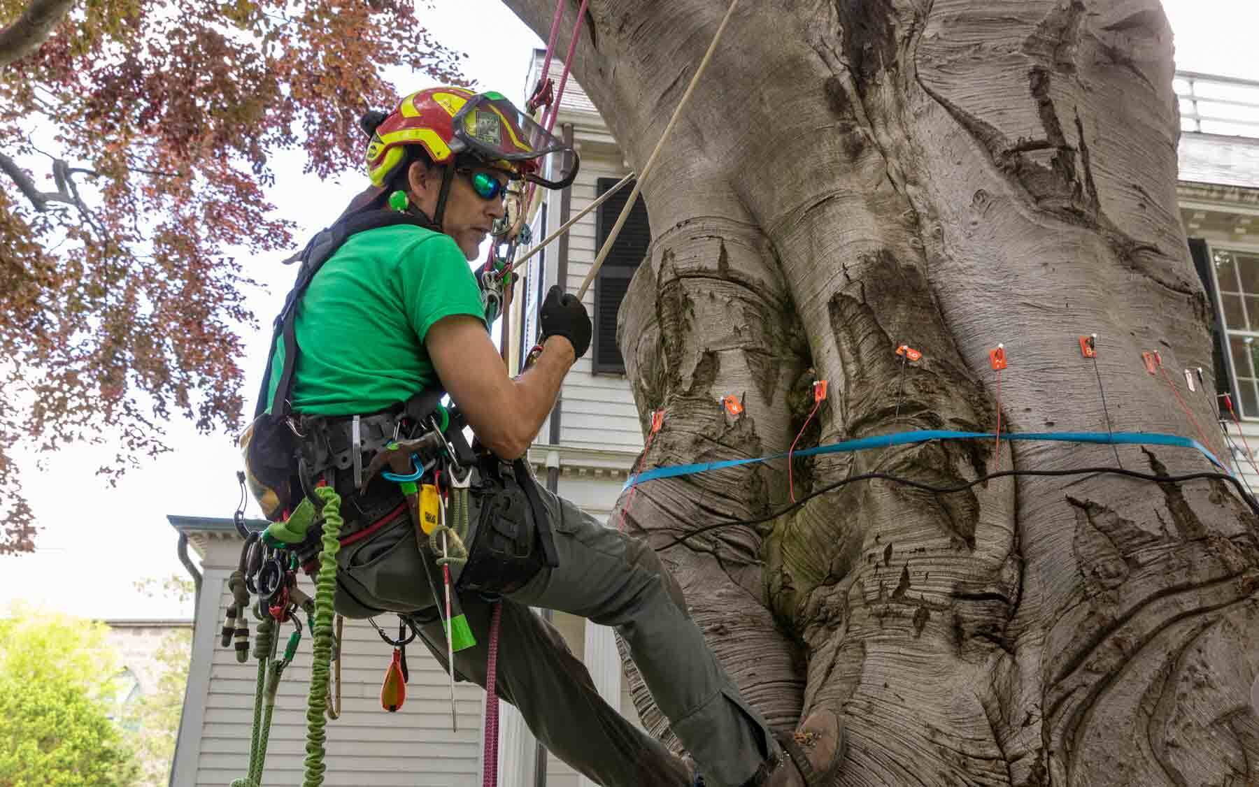A man hanging from ropes is working on a beech tree