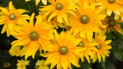 Many bright yellow flowers with greenish yellow centers