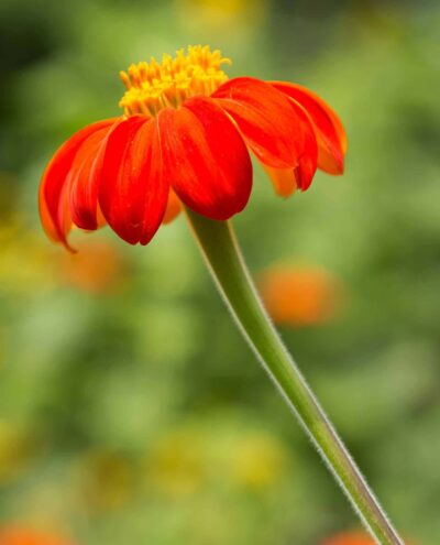 A close up detail of a bright red flower with yellow center reaching towards the sky with a green blurred backgroung of greenery