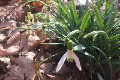 Small white snowdrop flowers and long green shoots among brpwn leaves
