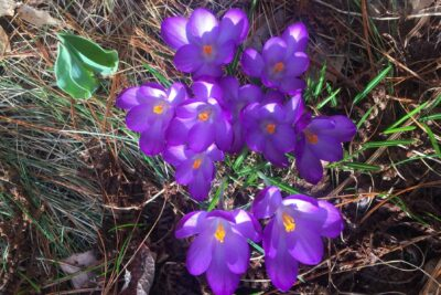 purple crocus like flowers in some grass