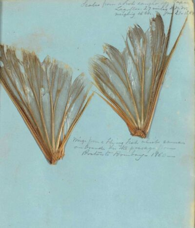 "Wings from a flying fish which came on board on the passage from Boston to Bombay - 1860 -,"" from the Sea Journal of Augusta Hendee, 1859-1874"