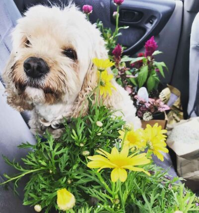 A white dog looking at viewer sitting on a car seat surrounded by flower bouquets