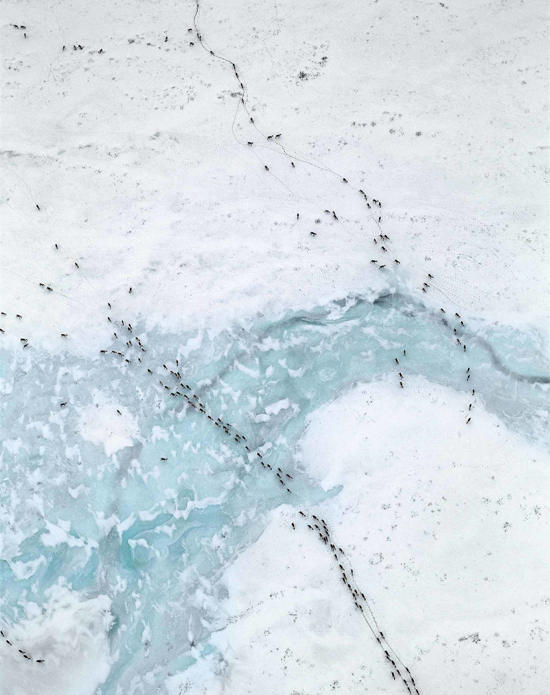 Caribou Migration I